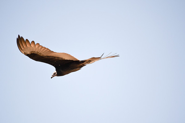 Vulture, one of many, circling a deer kill on the trails.<br /> (EBRPD-Del Valle)