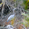 Great Blue Heron - Shadow Cliffs (EBRPD)