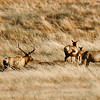 Elk herd on Corral Hollow Road, Livermore, CA... .near LLNL site 300