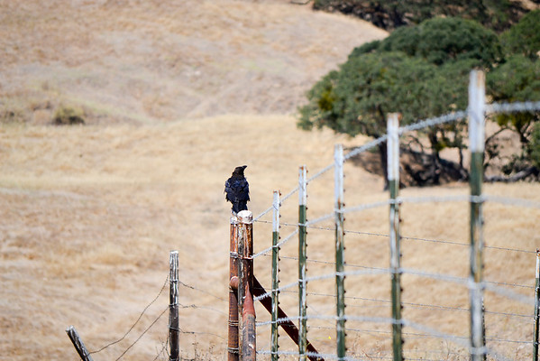 Crows grow big here!<br /> (EBRPD-Del Valle)