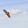 Red Tail Hawk, Del Valle (EBRPD)