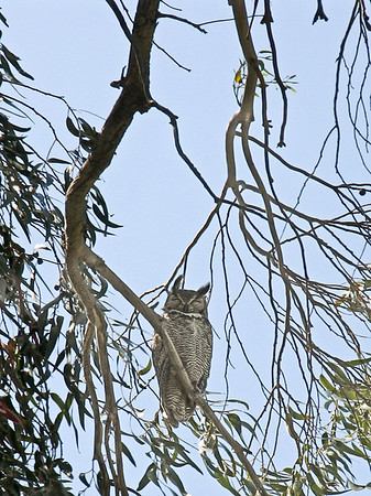 Great Horned Owl, Sycamore Grove Park.   Not reproduction quality over 5 x 7.