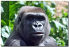 yes, this is the same photo as the other gorilla shot, just tweaked to bring the eyes out more.
