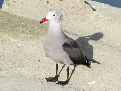Heermann's Gull, Newport Beach, CA. November 15, 2016.