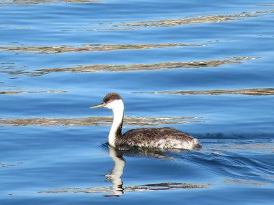 Western Grebe, Newport Channel,  November 2016.