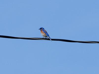 Western Bluebird, College Park, Costa Mesa