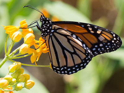 Monarch Butterfly in milkweed, College Park, Costa Mesa, CA