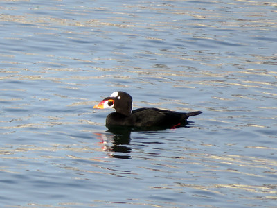 Surf Scoter, Newport Channel, November 2016