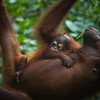 """Brittina has absolute trust in her mother, never flinching even when swung upside down at the Sepilok Orangutan Rehabilitation Centre in Sandakan, Malaysia.<br /> <br /> All print proceeds go to the Sepilok Orangutan Appeal. <br /> <br /> <a href=""""http://www.orangutan-appeal.org.uk"""">http://www.orangutan-appeal.org.uk</a>"""