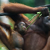 """Oi, I want this one mum!"" Britt wants this green bean for herself.<br /> <br /> All print proceeds go to the Sepilok Orangutan Appeal. <br /> <br /> <a href=""http://www.orangutan-appeal.org.uk"">http://www.orangutan-appeal.org.uk</a>"