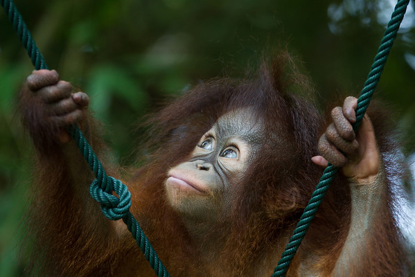 "Tenten has some ropes to help her practice climbing. For now the treetops are out of reach, but it wont be long before she's up there.<br /> <br /> All print proceeds go to the Sepilok Orangutan Appeal. <br /> <br /> <a href=""http://www.orangutan-appeal.org.uk"">http://www.orangutan-appeal.org.uk</a>"