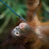 "We might share lots of DNA, but despite all their efforts orangutans cannot whistle 'Waltzing Matilda'.<br /> <br /> All print proceeds go to the Sepilok Orangutan Appeal. <br /> <br /> <a href=""http://www.orangutan-appeal.org.uk"">http://www.orangutan-appeal.org.uk</a>"