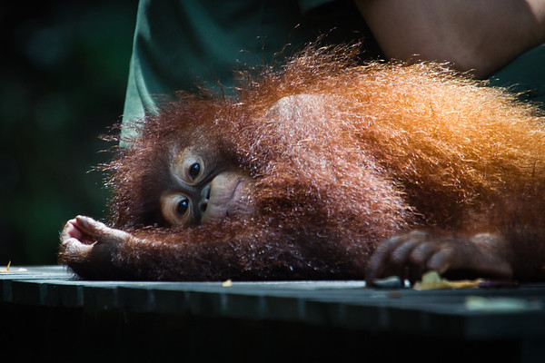 """Orangutans at feeding time: a picture of contentment.<br /> <br /> All print proceeds go to the Sepilok Orangutan Appeal. <br /> <br /> <a href=""""http://www.orangutan-appeal.org.uk"""">http://www.orangutan-appeal.org.uk</a>"""