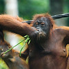 "Mum just doesn't want to give up her green beans...<br /> <br /> All print proceeds go to the Sepilok Orangutan Appeal. <br /> <br /> <a href=""http://www.orangutan-appeal.org.uk"">http://www.orangutan-appeal.org.uk</a>"
