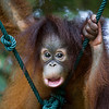 "Baby orangutan Tenten is already a superstar at the Shangri La Rasa Ria, but she doesn't quite have her poses figured out yet.<br /> <br /> All print proceeds go to the Sepilok Orangutan Appeal. <br /> <br /> <a href=""http://www.orangutan-appeal.org.uk"">http://www.orangutan-appeal.org.uk</a>"