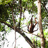 "Even orangutans sometimes take a wrong turn, but for these chaps there's not many situations that a big swing and a little leap can't fix.<br /> <br /> All print proceeds go to the Sepilok Orangutan Appeal. <br /> <br /> <a href=""http://www.orangutan-appeal.org.uk"">http://www.orangutan-appeal.org.uk</a>"