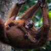 "Britt and her daughter run (swing?) from the afternoon downpour.<br /> <br /> All print proceeds go to the Sepilok Orangutan Appeal.<br /> <br /> <a href=""http://www.orangutan-appeal.org.uk"">http://www.orangutan-appeal.org.uk</a>"