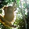 "A juvenile swings in the sunlight at the Shangri La Rasa Ria in Kota Kinabalu.<br /> <br /> All print proceeds go to the Sepilok Orangutan Appeal. <br /> <br /> <a href=""http://www.orangutan-appeal.org.uk"">http://www.orangutan-appeal.org.uk</a>"
