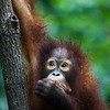 "Speak no evil.<br /> <br /> All print proceeds go to the Sepilok Orangutan Appeal. <br /> <br /> <a href=""http://www.orangutan-appeal.org.uk"">http://www.orangutan-appeal.org.uk</a>"