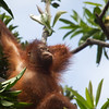 "Don't get too stressed out. Being an orangutan is a hard life.<br /> <br /> All print proceeds go to the Sepilok Orangutan Appeal. <br /> <br /> <a href=""http://www.orangutan-appeal.org.uk"">http://www.orangutan-appeal.org.uk</a>"