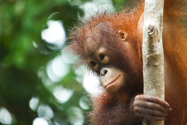 """Occasionally orangutans are found as pets and rescued by the Sabah Wildlife Department. They often have stereotypies that need to be unlearnt before they can be released back to the wild.<br /> <br /> All print proceeds go to the Sepilok Orangutan Appeal.<br /> <br /> <a href=""""http://www.orangutan-appeal.org.uk"""">http://www.orangutan-appeal.org.uk</a>"""