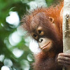"Occasionally orangutans are found as pets and rescued by the Sabah Wildlife Department. They often have stereotypies that need to be unlearnt before they can be released back to the wild.<br /> <br /> All print proceeds go to the Sepilok Orangutan Appeal.<br /> <br /> <a href=""http://www.orangutan-appeal.org.uk"">http://www.orangutan-appeal.org.uk</a>"