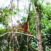 "King of the swingers at the Shangri La Rasa Ria in Kota Kinabalu.<br /> <br /> All print proceeds go to the Sepilok Orangutan Appeal.<br /> <br /> <a href=""http://www.orangutan-appeal.org.uk"">http://www.orangutan-appeal.org.uk</a>"