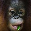 "Silly Tenten, that's not food.<br /> <br /> All print proceeds go to the Sepilok Orangutan Appeal. <br /> <br /> <a href=""http://www.orangutan-appeal.org.uk"">http://www.orangutan-appeal.org.uk</a>"