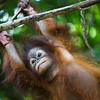 "Tenten often falls on the floor, but one day she'll be as agile as her friends in the treetops.<br /> <br /> All print proceeds go to the Sepilok Orangutan Appeal.<br /> <br /> <a href=""http://www.orangutan-appeal.org.uk"">http://www.orangutan-appeal.org.uk</a>"