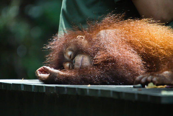 "A banana and a snooze, couldn't have hoped for a better afternoon after being rescued to the Shangri La Rasa Ria in Kota Kinabalu.<br /> <br /> All print proceeds go to the Sepilok Orangutan Appeal. <br /> <br /> <a href=""http://www.orangutan-appeal.org.uk"">http://www.orangutan-appeal.org.uk</a>"