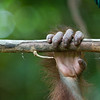 """It's hard not to anthropomorphise animals even when they don't look so much like humans as orangutans do.<br /> <br /> All print proceeds go to the Sepilok Orangutan Appeal. <br /> <br /> <a href=""""http://www.orangutan-appeal.org.uk"""">http://www.orangutan-appeal.org.uk</a>"""