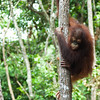 "It's a long way down...<br /> <br /> All print proceeds go to the Sepilok Orangutan Appeal. <br /> <br /> <a href=""http://www.orangutan-appeal.org.uk"">http://www.orangutan-appeal.org.uk</a>"