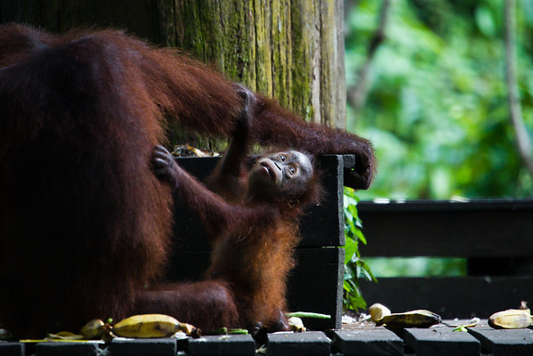 "A little scared when not stuck to her mum, Brittina doesn't stray very far.<br /> <br /> All print proceeds go to the Sepilok Orangutan Appeal. <br /> <br /> <a href=""http://www.orangutan-appeal.org.uk"">http://www.orangutan-appeal.org.uk</a>"