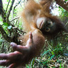 "Tenten, about to get added to the list of animals that have mashed my camera.<br /> <br /> All print proceeds go to the Sepilok Orangutan Appeal. <br /> <br /> <a href=""http://www.orangutan-appeal.org.uk"">http://www.orangutan-appeal.org.uk</a>"