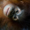 "Tenten dangles for the camera at the Shangri La Rasa Ria.<br /> <br /> All print proceeds go to the Sepilok Orangutan Appeal. <br /> <br /> <a href=""http://www.orangutan-appeal.org.uk"">http://www.orangutan-appeal.org.uk</a>"