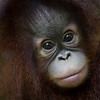 "Beautiful Tenten was taken to the Shangri La Rasa Ria after being found alone in the rainforest by a member of the public. Orangutans will never leave their babies willingly, so when found abandoned there is no time to waste.<br /> <br /> All print proceeds go to the Sepilok Orangutan Appeal. <br /> <br /> <a href=""http://www.orangutan-appeal.org.uk"">http://www.orangutan-appeal.org.uk</a>"