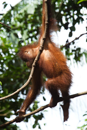 "Orangutans spend most of the day swinging from branch to branch. They're surprisingly agile for such comedic creatures.<br /> <br /> All print proceeds go to the Sepilok Orangutan Appeal. <br /> <br /> <a href=""http://www.orangutan-appeal.org.uk"">http://www.orangutan-appeal.org.uk</a>"