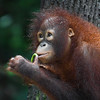 "This cheeky chappie steals a bit of food back to his tree before going back for more.<br /> <br /> All print proceeds go to the Sepilok Orangutan Appeal. <br /> <br /> <a href=""http://www.orangutan-appeal.org.uk"">http://www.orangutan-appeal.org.uk</a>"