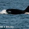 Orcas( Orcinus orca) : Orcas or Killer whales; three types transients are mammal eaters, residents are fish eaters and third- offshores which are fish eaters too. As for the color of the water, it is reflection of the sky. So. if the sky is blue, the water is blue. If the sky is gray, the water is gray. I found that having an expensive lens can be a disadvantage during very rough seas. I have encountered huge swells from one of the  latest trips and I could not hold up my 200-400mm with camera safely to take pictures.. If I had a cheaper one( lighter weight), I would have more better results. Take home message: keep it light and simple.