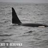 killerwhale
