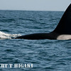 orcas- when you see a large dorsal fin like this- it's a male