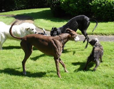 dogsplaying
