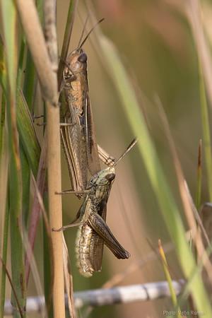 Sale-rohutirts, Chorthippus albomarginatus, Lesser Marsh Grasshopper