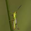 Lühitiib-tirts, Euthystira brachyptera