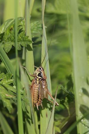 Ääris-niiduritsikas, Metrioptera roeselii