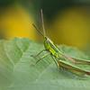 Lühitiib-tirts, Euthystira brachyptera, Small Gold Grasshopper