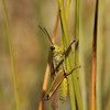 Luhatirts, Stethophyma grossum, Large Marsh Grasshopper