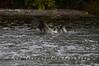 Fishing Osprey 12