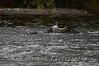 Fishing Osprey 10