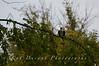 Fishing Osprey 2